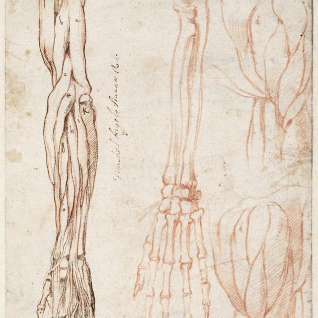 Spier- en skeletstudies van arm en schouder