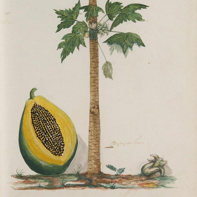 Plantae Javanicae pictae ex Java transmissae anno MDCC.