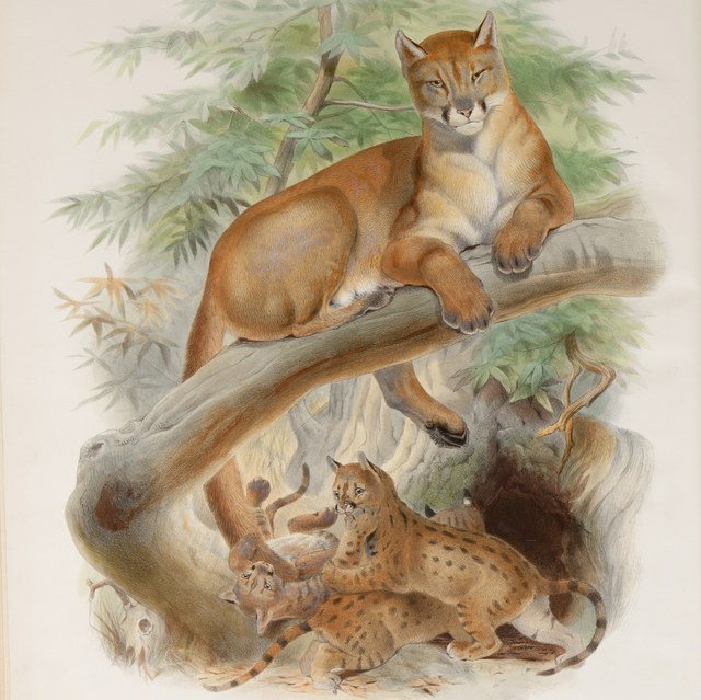 A monograph of the Felidae or family of the cats