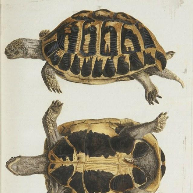 Historia testudinum iconibus illustrata.