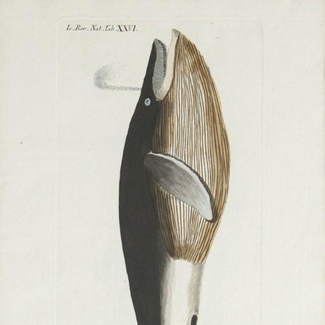 Icones rerum naturalium ou figures enlumintes d'histoire naturelle du nord.