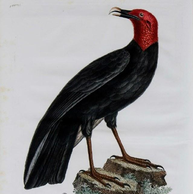 Histoire naturelle des oiseaux de l'Amérique septentrionale, contenant un grand nombre d'espèces décrites ou figurées pour la première fois.