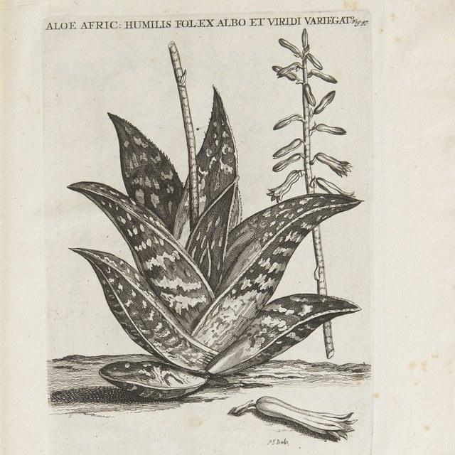 Horti medici Amstelaedamensis Plantae rariores et exoticae. Ad vivum aere incisae.