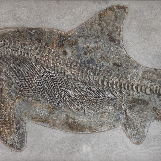 Ichthyosaurus quadriscissus