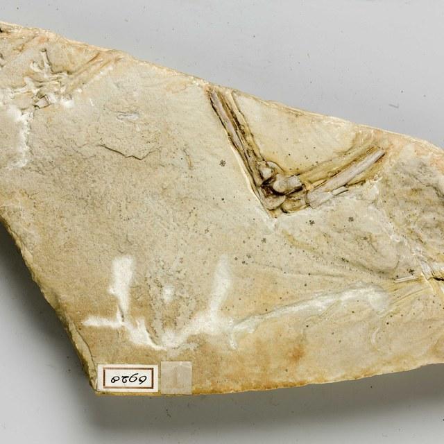 Ostromia voorheen  Archaeopteryx, Haarlems exemplaar