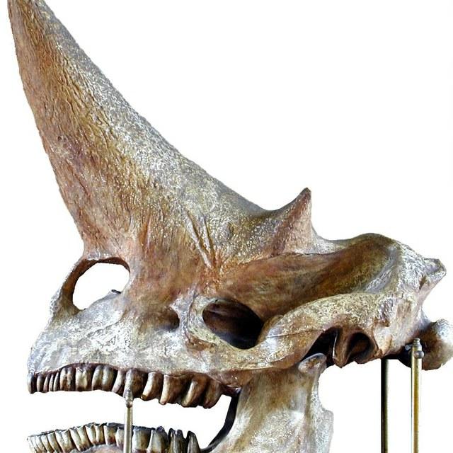 Afgietsel van schedel van Arsinotherium zitteli Beadnell, ''het monster van Fayum''