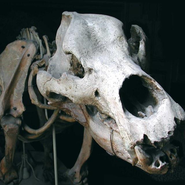 Holenbeer of Grottenbeer