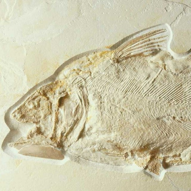 De Coelacanth