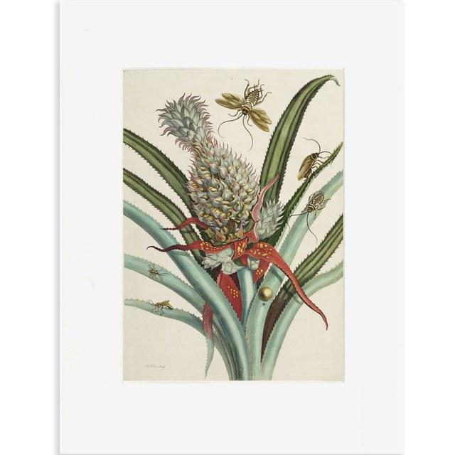 Reproductie ananas Merian