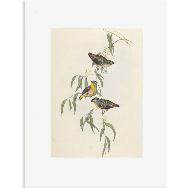 Reproductie gevlekte diamantvogel Gould