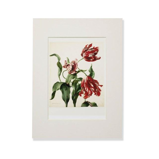 Reproductie van tulpen