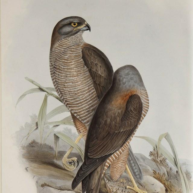 Gould, John (1804-1881)