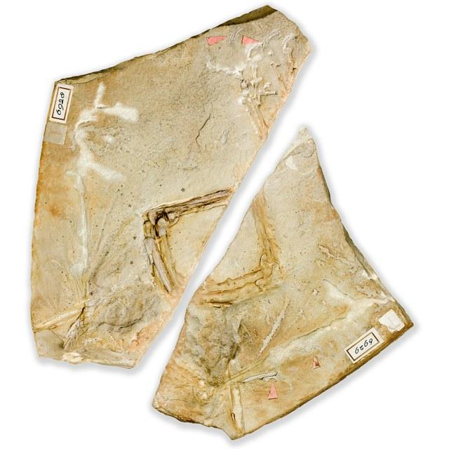 DE OERVOGEL - Ostromia Crassipes (voorheen Archaeopteryx)