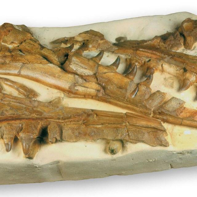 Mosasaurus hoffmanni