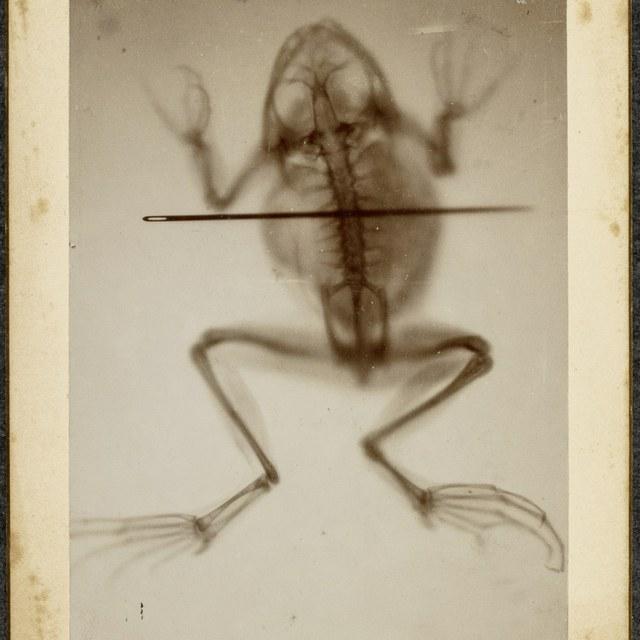 Röntgenfoto, een kikvors met naald en een ketting; beide met röntgenstraling gefotografeerd door een houten doosje heen en gemaakt tijdens een publieke demonstratie in Tilburg, 19 maart 1896.