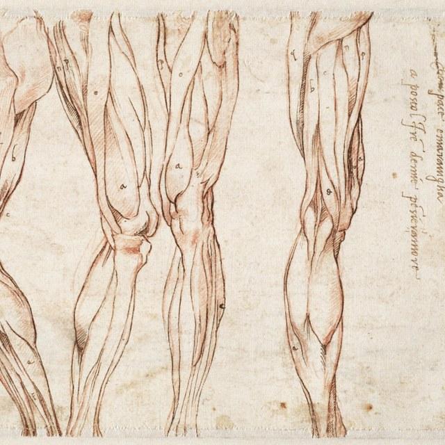 Vier spierstudies van een been