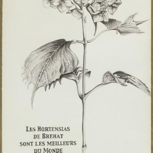 Les hortensias de Brehat