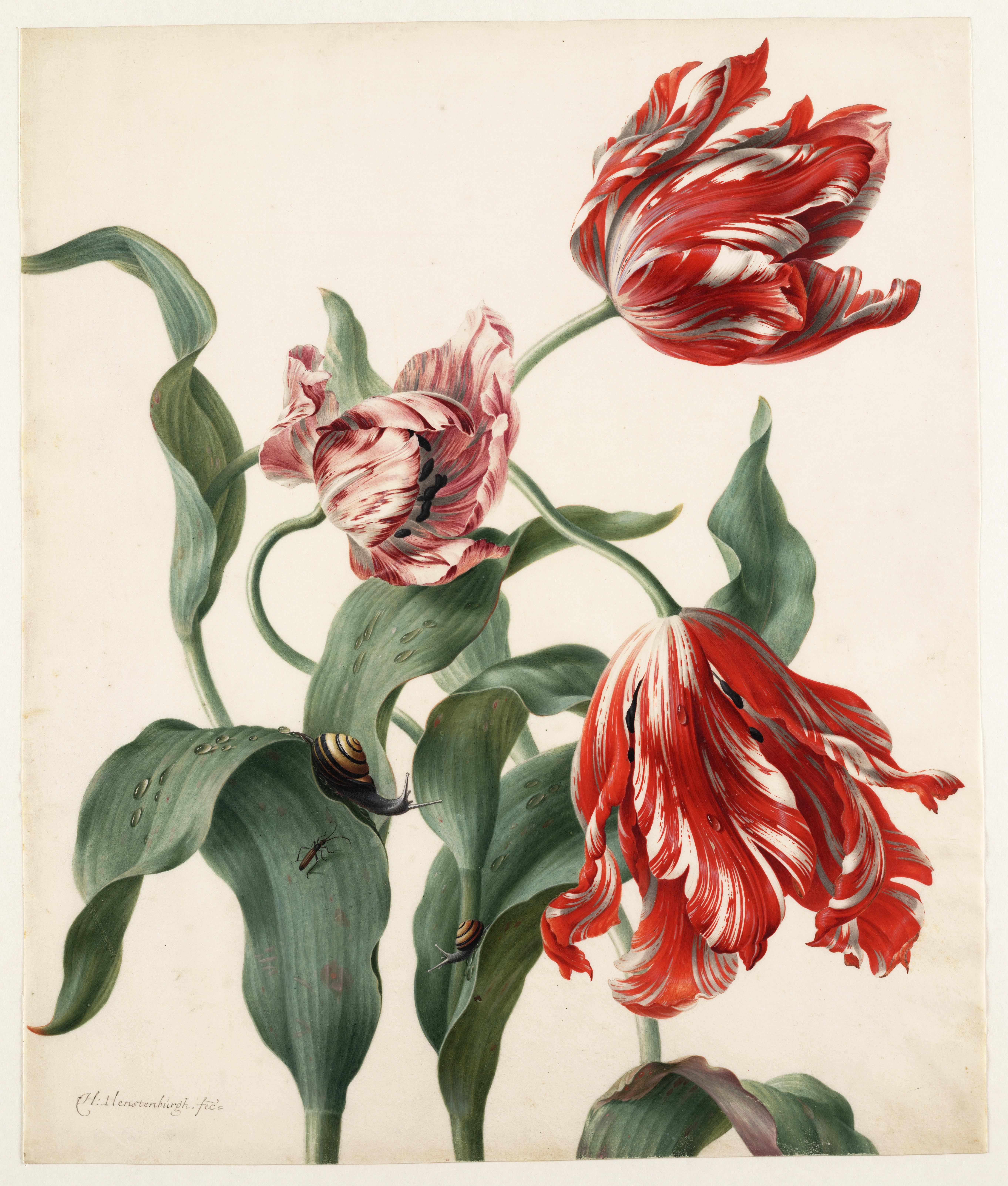 Herman Henstenburgh, drie tulpen, 1687-1726